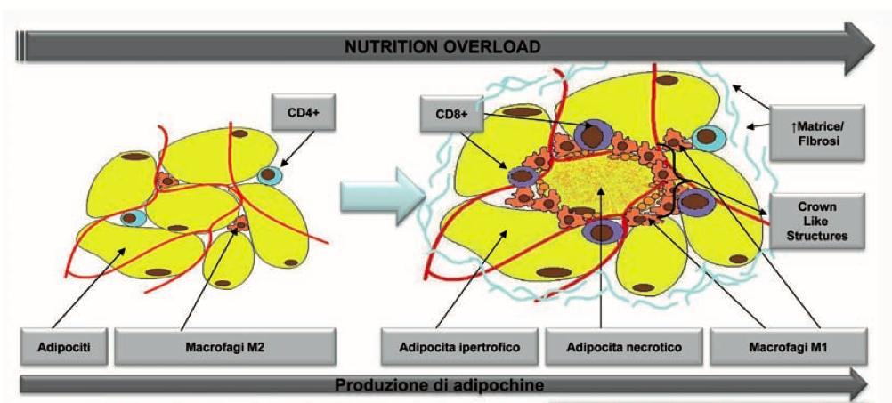 Tessuto adiposo ed infiammazione sistemica